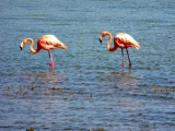 <h5>Flamingos are seen in Many places on Bonaire</h5><p></p>
