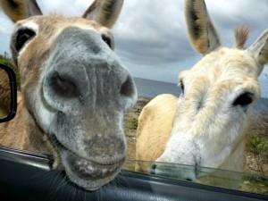 donkeys in the car window bonaire