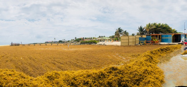 Sargassum invasion Bonaire at Lac Bay – update: all cleaned up!