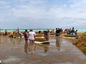 volunteers cleaning up sargassum invasion in bonaire march 2018