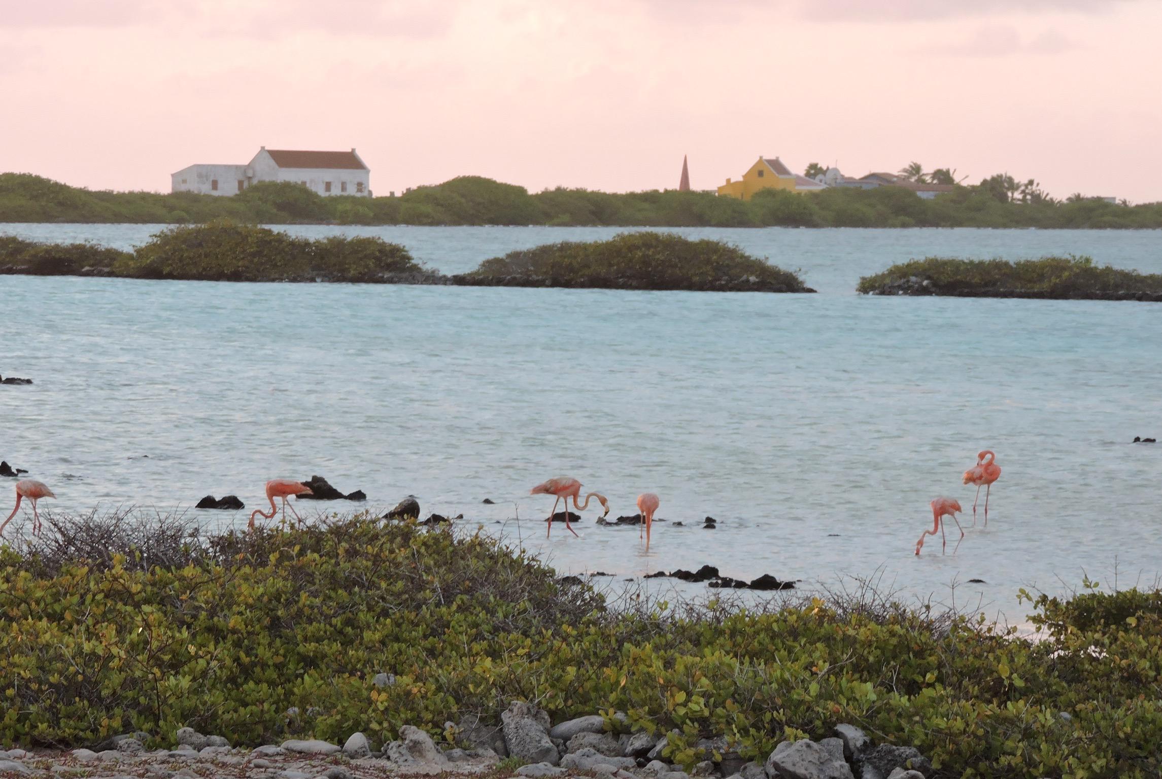 flamingos nature of bonaire
