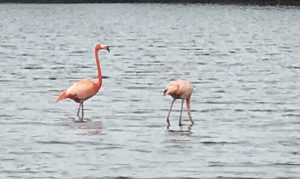 flamingo bird watching bonaire