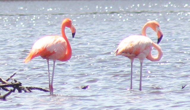 bonaire flamingos in the mangroves